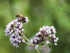 Honeybee on Oregano (avflinsch) Tags: ifttt 500px