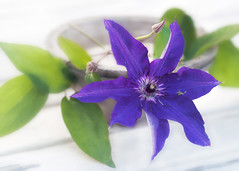 When working together. (BirgittaSjostedt) Tags: flower plant nature still stilllife bowl leaf table clematis flowercard card greetings birgittasjostedt macro garden magicunicornverybest ie