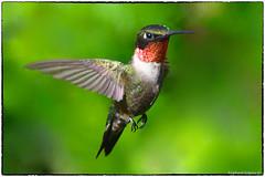 Ruby throated Hummingbird (RKop) Tags: hummingbird raphaelkopanphotography d500 200500mmf56edvrzoom californiawoodspark ohio cincinnati nikon