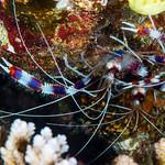 Banded Coral Shrimp, pair - Stenopus hispidus thumbnail