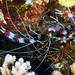 Banded Coral Shrimp, pair - Stenopus hispidus