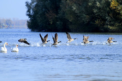 _MG_9312bis (henrirambaud) Tags: décollage faune alsace oie sauvage