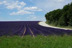 Champs de lavandes à Valensole (Missfujii) Tags: champs lavande fleur plante provence valensole