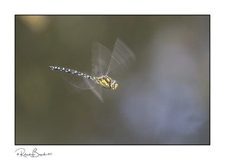 In a blur of wings - Southern Hawker Dragonfly in flight
