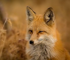 Red fox portrait in the late October sun (Foto's by Yves) Tags: high grassland unicolor outdoor wildlife 75300mm specanimal alittlebeauty fantastic nature ngc coth coth5