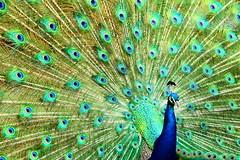 Tapi l'ami Paon (Christian Chene Tahiti) Tags: canon 7d paon roue granderoue tapisserie henderson faune animal auckland nz travel voyage nouvellezélande newzealand nature bleu blue oiseau texture smileonsaturday featheredfriends