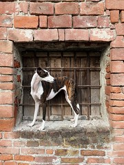 Brick Wall Outdoors Animal Themes Built Structure Day Domestic Animals No People Building Exterior Architecture Mammal Pets Whippet Portrait Pet Portraits EyeEmNewHere The Week On EyeEm Dog Adorable (Michail Paschalidis) Tags: brickwall outdoors animalthemes builtstructure day domesticanimals nopeople buildingexterior architecture mammal pets whippet portrait petportraits eyeemnewhere theweekoneyeem dog adorable