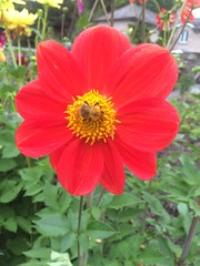 Oh to be a bee! (Bennydorm) Tags: greenery centre middle redandyellow iphone5s inglaterra inghilterra angleterre uk gb britain england cumbria furness ulverston agosto aout august jolie bonito beauty pretty lovely nature pollination insect bee rot rosso rouge red jardin garden flor fiore blume fleur flora flower