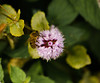 Abeja y flor (USE_1978) Tags: abeja bee flower naturaleza nature nikond5100 macro nikon85mmmicro