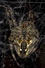 254/365  Araneus diadematus (Cross Orbweaver)