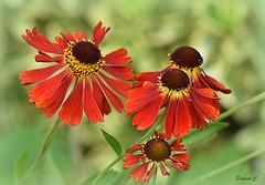 Helenium Family (Eleanor (No multiple invites please)) Tags: flowers helenium busheyrosegarden bushey uk nikond7200 105mmmacrolens august2017