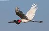 Jabiru (Max Waugh Photography) Tags: jabiru jabirumycteria brazil pantanal southamerica animal avian big bird black nature red white wildlife stork tall flight flying flapping brazil17 maxwaugh