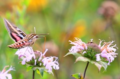 white-lined sphinx moth nectaring on wild bergamot at Vernon Springs IA 854A4016 (lreis_naturalist) Tags: whitelined sphinx moth nectaring wild bergamot flowers eastern vernon springs howard county iowa larry reis