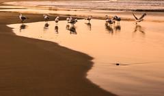 ..the gathering.. (dawn.tranter) Tags: dawntranter seagulls birds gathering beach coffsharbour sunset water golden light