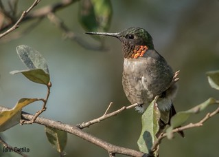 Ruby-throated Hummingbird at rest.