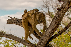 Yellow Baboon and Infant (donnatopham) Tags: campxanakaxa botswana yellowbaboon moremigamereserve