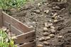 CKuchem-5980 (christine_kuchem) Tags: bauerngarten beet biogarten erde ernte erntekiste erntezeit feld frühkartoffel garten gartenerde gemüse gemüsebeet gemüsegarten glorietta grabgabel herbst holz holzkiste kartoffel kartoffelbeet kartoffelfeld kartoffelkiste kiste naturgarten nutzgarten pflanze privatgarten rarität sorte sortenvielfalt vielfalt alt bio biologisch frisch früh gesund naturnah natürlich reif