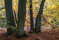 Herbstwald (Petra Runge) Tags: darss herbst wald bäume natur farben landschaft nature color tree wood forest autumn baum germany deutschland