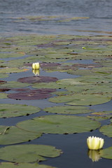 aIMG_9883 (hottmoose) Tags: darlingtonprovincialpark ontario flower lilypad nature