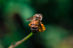 Bee (BaconGhost) Tags: nature natural naturallight flower blossom sun light day daylight yellow colorful colours spring animal plant insect bee details busy pollen beautiful bokeh macro