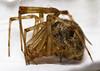 7D_arachnid02_20170919_3331_2500_ov (temcbrid2) Tags: invertebrate arthropod arthropods invertebrates macro macrophotography sigma150mmf28 his arachnid arachnids 8legs spider spiders booklungs web
