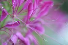 Cleome Violet Queen (haberlea) Tags: garden mygarden flower flowers plant pink green nature cleomevioletqueen cleome
