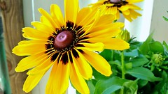 You know its my Fall when Rudbeckias become my Obession. (marianne kuzmen colorart) Tags: rudbeckia yellow flower flowers fall blackeyedsusan plant daisy wildflower leaves green sun orange sky nature garden mariannekuzmen samsung latesummer color vivid outdoors gardenphotography buds sunflowers thecolorsoffall pov wowfactor painteddaisy