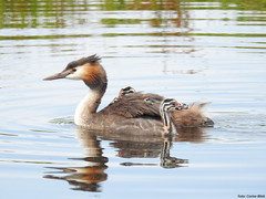 Great crested grebe with young (Corine Bliek) Tags: bird birds vogel vogels waterfowl water wildlife natue natuur young jongen small little kleintjes podicepscristatus