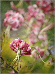 (melolou) Tags: nature flowers lys lilium