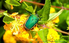 Fig Beetle.... (law_keven) Tags: beetle insect usa america travel holiday flowers figbeetle costamesa california photography macrophotography