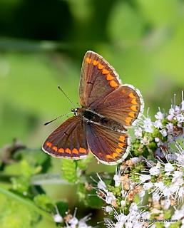 IMG_8872. Brown Argus (Aricia agestis)