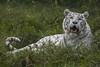 Tiger Grass (Scrib Photography) Tags: tiger whitetiger bengaltiger bigcats cats indiantiger wildlife