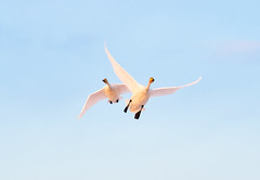 Happy Flight. (K16mix) Tags: kurihara miyagi japan swan whooperswan sky fly nature izunuma wildbird wildlife bird flight eaafp ramsarconvention 日本 伊豆沼 宮城県 栗原市 ハクチョウ 白鳥 自然 野鳥 飛翔 ラムサール条約