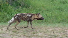 On the Prowl - African Wild Dog (Rckr88) Tags: african wild dog africanwilddog on prowl ontheprowl wilddogs animal animals krugernationalpark southafrica kruger national park south africa mpumalanga nature outdoors travel