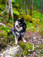 A wondering pup (evakongshavn) Tags: dog dogsonadventures hikingdogs goout getout getoutside adventuredog adventure adventureisoutthere dogs dogsthathike forest greenforest green trees bokeh bestdogever animal rock grass tree wood portrait dogportrait finnishlapphund photooftoday