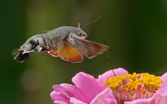 sleek feeder (mishko2007) Tags: macroglossumstellatarum hummingbirdhawkmoth korea 105mmf28