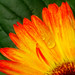 Orange+and+yellow+Gerbera+daisy%2C+with+water+drops