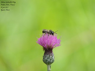 Andrena denticulata Kirby