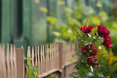 HFF (jillyspoon) Tags: hff fence fencefriday happyfencefriday roses rose redrose bridgnorth svr severnvalleyrailway oldrailways canon canon70d canon70200mm 70200mm 70200 shropshire railings railwayrailings redandgreen depthoffield