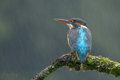 Looks like rain.. (benstaceyphotography) Tags: scottishwildlifephotographyhides kingfisher rain scotland moss perch bird blue plumage hydrophobic feathers nikon wildlife motionblur d800e 500f4vr