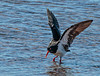 Pied Oystercatcher (Lekha Suraweera) Tags: wellingtonpoint