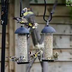 Goldfinches on the feeders (@JBOccyTherapy) Tags: goldfinch garden birds nature wildlife home gold finch bird urban wild druidry druit feeders birding