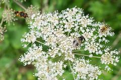 20170812-GR016621-Edit (fleetingphotons) Tags: ricohgr wasingestate warrenbeat hoverflies