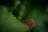 little red spider (severalsnakes) Tags: kansas m3528 pentax saraspaedy shawnee shawneemissionpark bug insect k1 macro manual manualfocus redspider spider raynox250