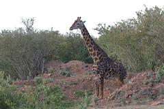 20170613_0023_Masai Mara_Girafe Masai (fstoger) Tags: kenya masaimara viesauvage wildlife safari girafe girafemasai masaigiraffe afrique africa