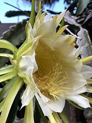 A gift of the morning... Nightblooming Cereus (jungle mama) Tags: cereus cactus white yellow pollen nighblooming bee biscayneparkflorida princessofthenight honoluluqueen hylocereusundatus christinthemanger damadenoche queenofthenight coth5