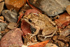 Bumpy Rocket Frog (Litoria inermis) (Akash Samuel Melbourne) Tags: chillagoe region queensland australia bumpy rocket frog litoria inermis akash samuel animal colour macro