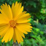 Hot Springs - Dominant Yellow thumbnail