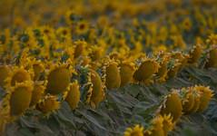 congregation (explore 8.6.17) (*wildbio*) Tags: telephoto sunflower agriculture washingtonagriculture canon explore dof lowlight