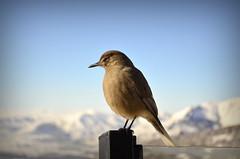 Concentration (gerudebruno) Tags: bird mountain animal nature passaro passarinho neve sky fly flight